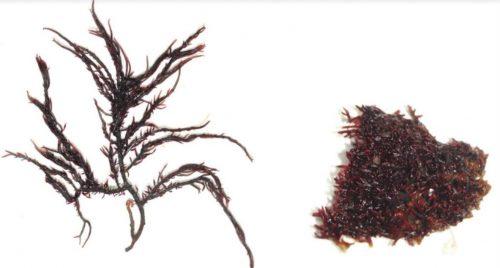 Due nuove specie di alga rossa scoperte sulle coste dell'India: mai viste prima