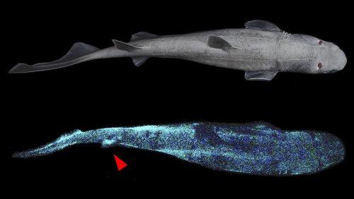 Nuova Zelanda: scoperti tre giganteschi squali bioluminescenti