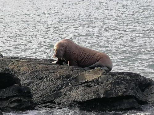 Un tricheco dell'Artico sulle coste irlandesi. Gli esperti: 'Forse addormentato su iceberg'