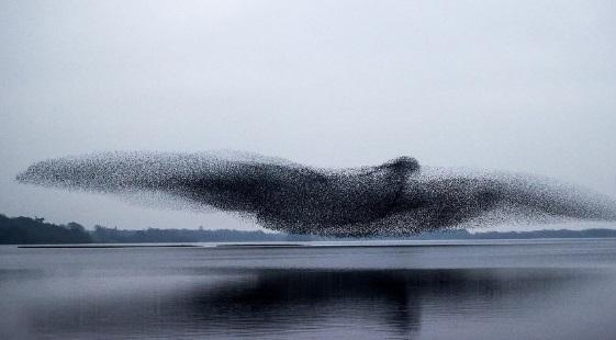 Un gruppo di storni sembra trasformarsi in un enorme uccello sul lago Lough Ennell