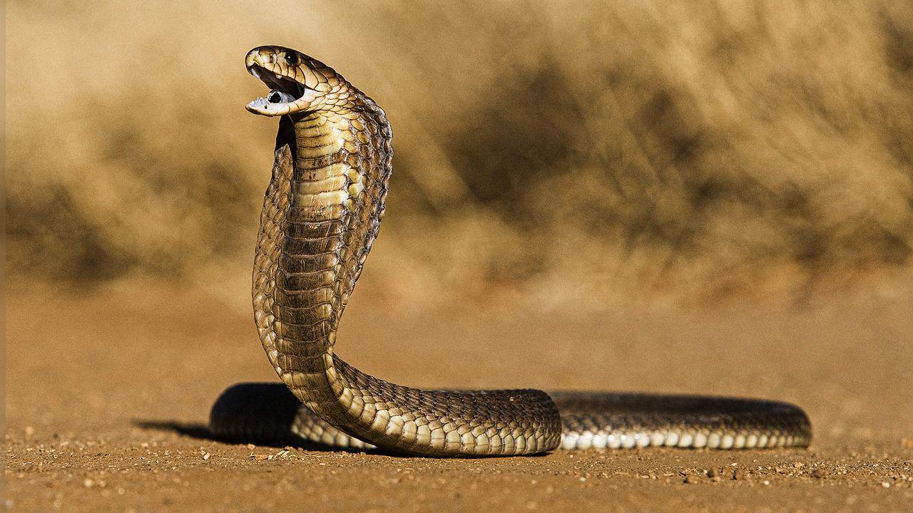 Natura: anche gli uomini potrebbero diventare velenosi come i serpenti