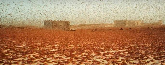 Sciami di locuste invadono Arabia Saudita e Iran. Le immagini