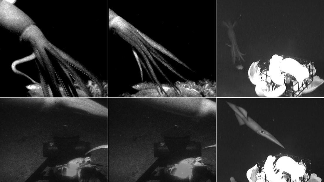 Filmato l'Architeuthis dux: il leggendario calamaro gigante che terrorizzava i marinai del passato