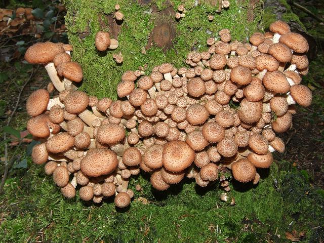 Stati Uniti: alla scoperta di un fungo di 2500 anni  pesante come 100 elefanti
