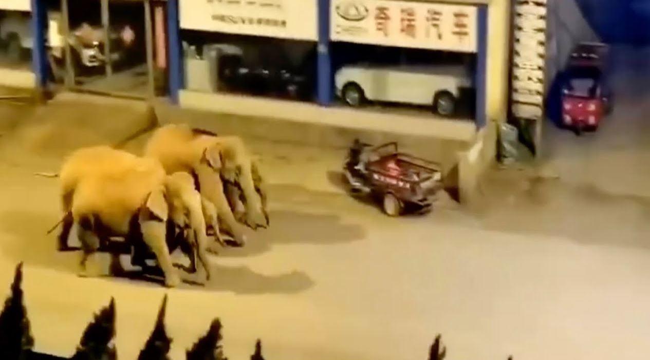 Branco di 15 elefanti entra nella città di Yuxi: momenti di panico ed evacuazioni