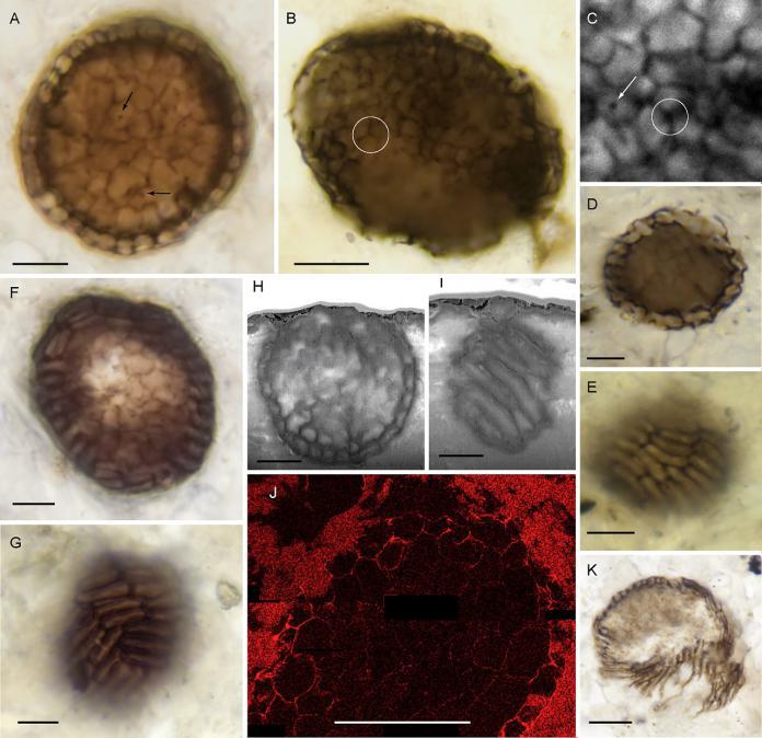 Scozia: scoperto fossile di un organismo pluricellulare risalente ad un miliardo di anni fa