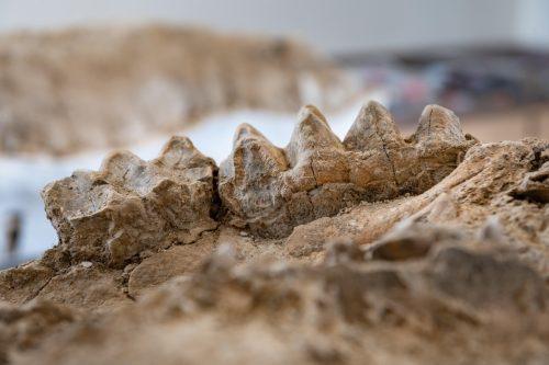 USA: i resti di un gigantesco cammello scoperti in California