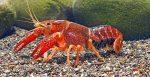 Gli antidepressivi nei fiumi stravolgono i comportamenti dei gamberi acquatici