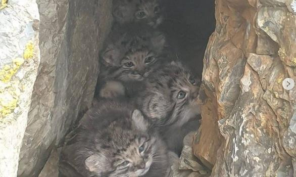 Siberia: fotografati dei cuccioli di gatti di Pallas, una delle specie più rare al mondo