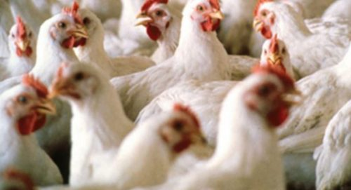 Allerta aviaria: Cina conferma primo caso di contagio nell'uomo del ceppo H10N3