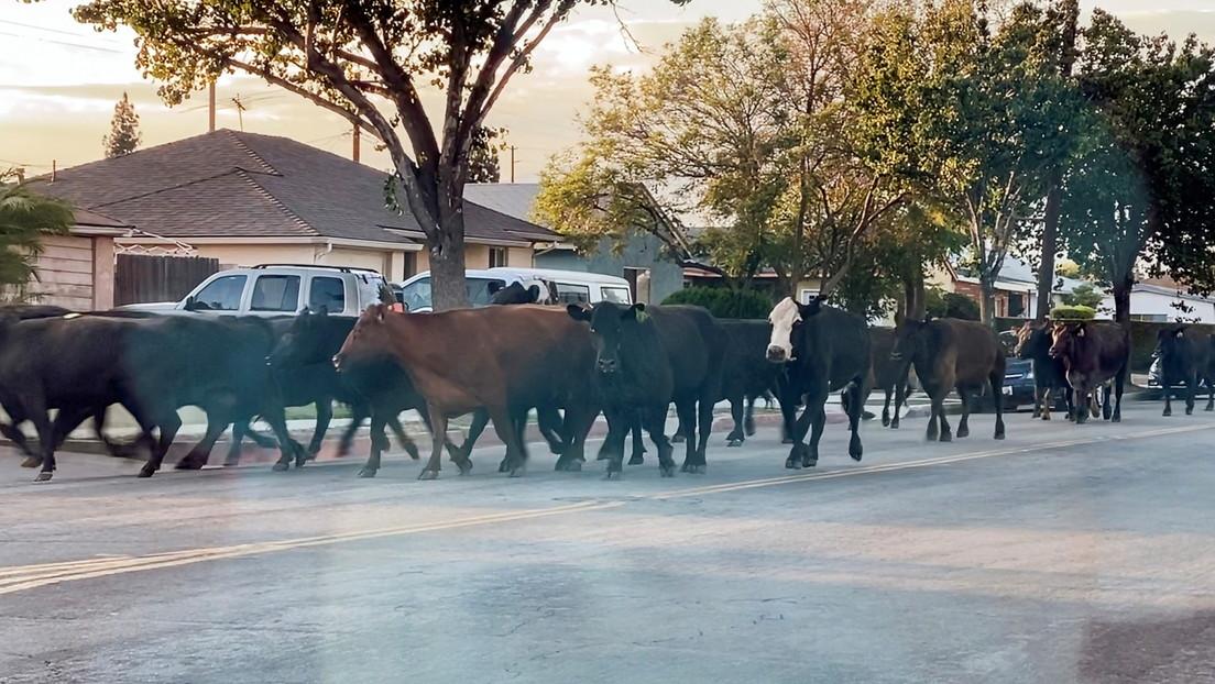 California: 40 mucche scappano dal mattatoio seminando il caos