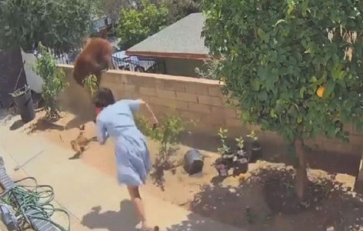 Orsa con cuccioli in un giardino: 17enne la spinge per difendere i cani. Video virale