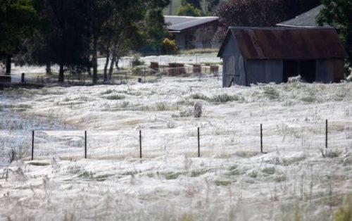 Australia: 'apocalisse dei ragni' nello stato di Vittoria. Enormi ragnatele ricoprono i terreni