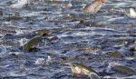 Un virus sta mettendo in ginocchio gli allevamenti di salmoni in tutto il mondo