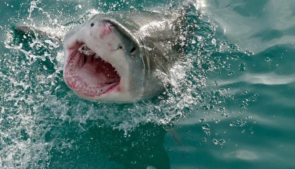 Giappone: trovati i più antichi resti di un uomo attaccato da uno squalo