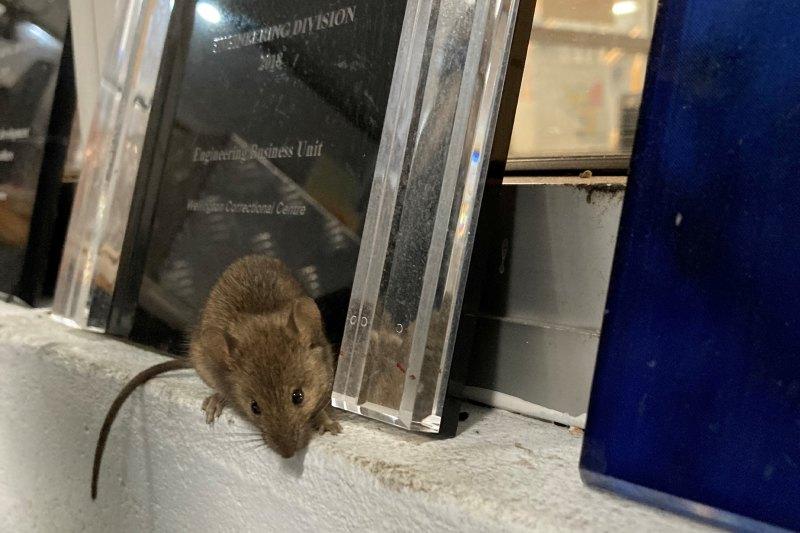 Invasione di topi in Australia: ratti invadono prigione, detenuti evacuati