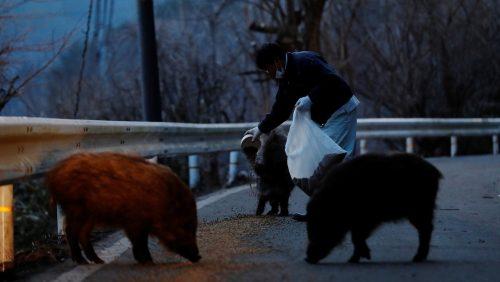 Giappone: osservato un ibrido tra cinghiale e maiale nella zona di Fukushima