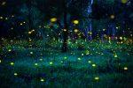 Curiosità: come e perché si illuminano le lucciole? Scopriamolo insieme