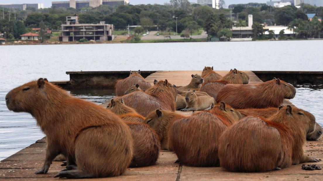 I capibara invadono un quartiere di Buenos Aires: animali domestici aggrediti e incidenti stradali