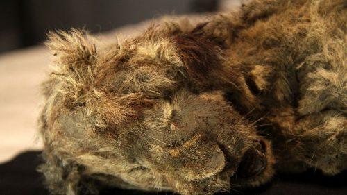 Siberia: cucciolo di leone vissuto 28mila anni fa riemerge dal permafrost