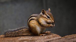 Casi di peste negli scoiattoli: chiuse le coste del Lago Tahoe in California