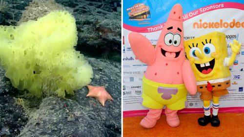 """Spugna gialla e stella marina rosa. Gli scienziati catturano la """"versione"""" reale di SpongeBob e Patrick"""
