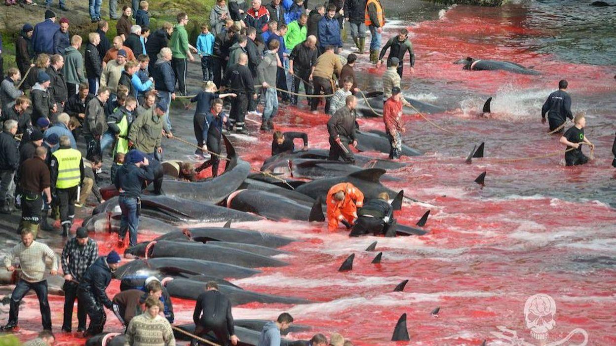 Migliaia di delfini uccisi alle isole Faroe. Video shock