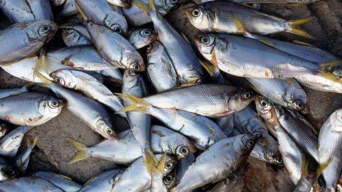 Roma: misteriosa moria di pesci nel Tevere