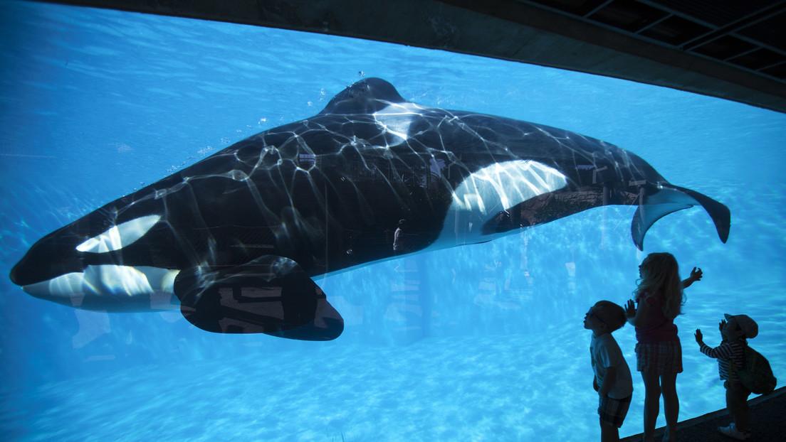 La disperazione dell'orca 'più sola al mondo' filmata mentre sbatte la testa contro la vasca