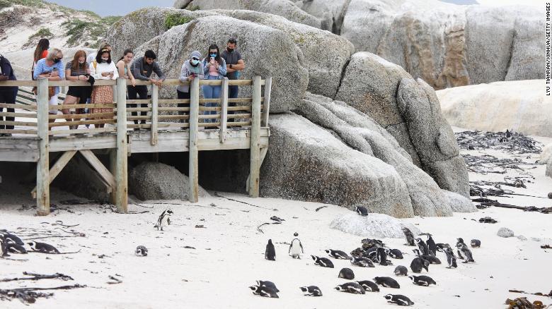 Sudafrica: uno sciame di api uccide 63 pinguini