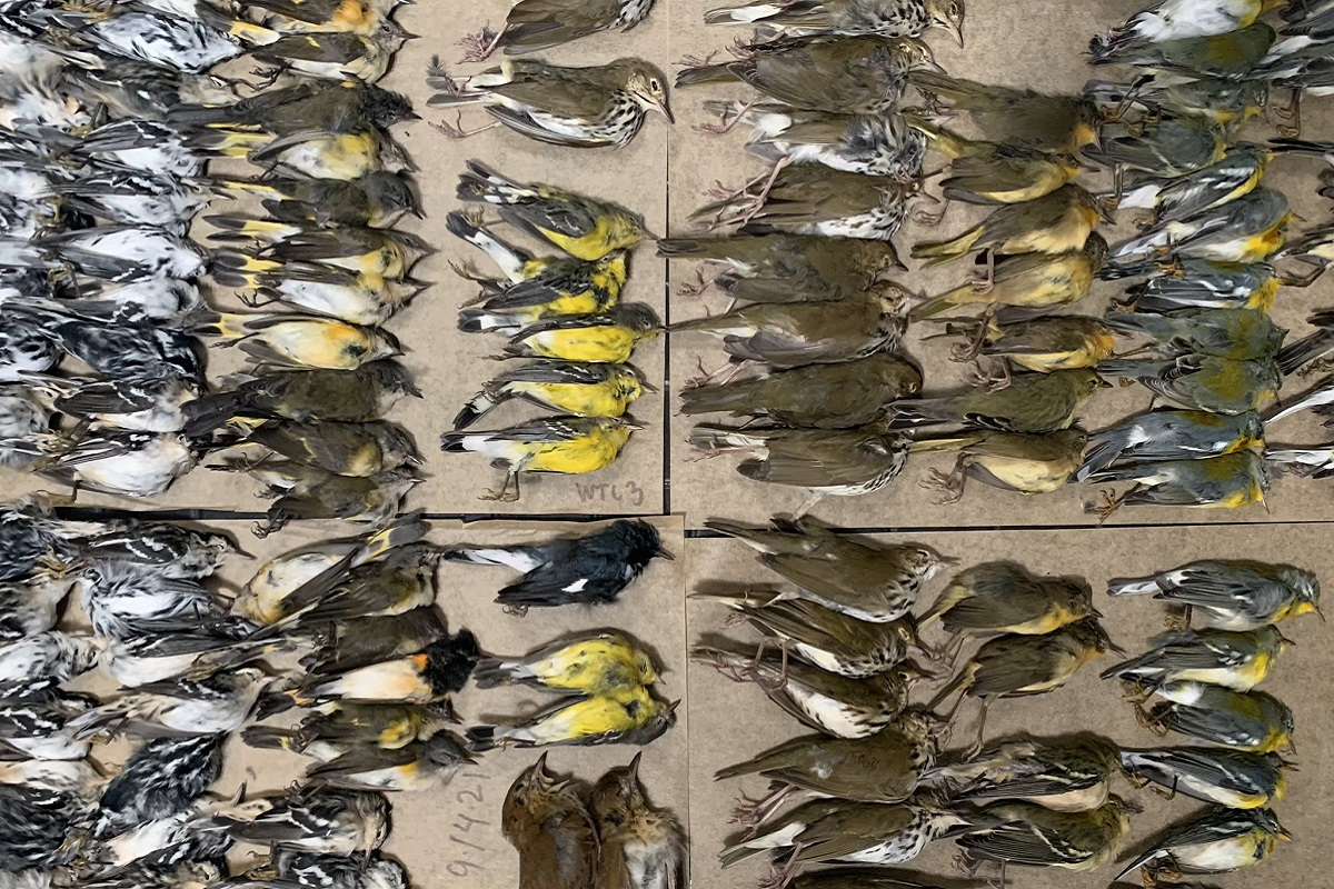 Strage di uccelli a New York: in centinaia si sono scontrati contro i grattacieli