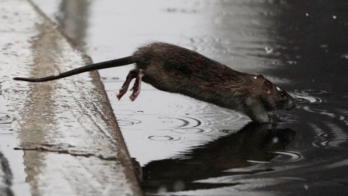 Aumentano i casi di leptospirosi a New York, la malattia rara trasmessa dai ratti